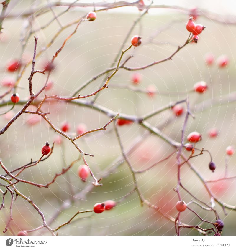 Hagebutte rot Herbst Lebensmittel Frucht Sträucher Ast Tee Samen Rose Zweig Beeren Hecke Dorn Blume Fruchtstand