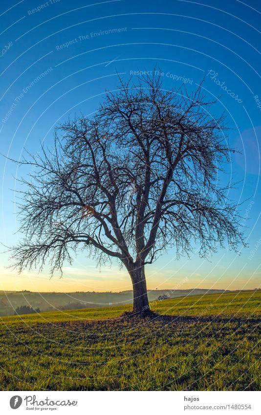 alter Birnenbaum im Herbst Sonne Berge u. Gebirge Natur Landschaft Wolken Baum Wiese Feld dunkel hell weich blau gelb Stimmung Romantik Obstbaum kahl Alb