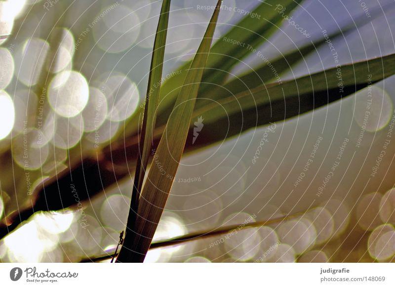 Gras Schilfrohr Wasser Gegenlicht Abendsonne glänzend Beleuchtung Natur Umwelt Pflanze Fleck Punkt Reflexion & Spiegelung schön zart Küste Seeufer träumen Farbe