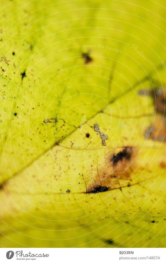genau betrachtet Pflanze Blatt Herbst Netzwerk fallen Botanik Gefäße Blattadern verzweigt herbstlich Hochformat