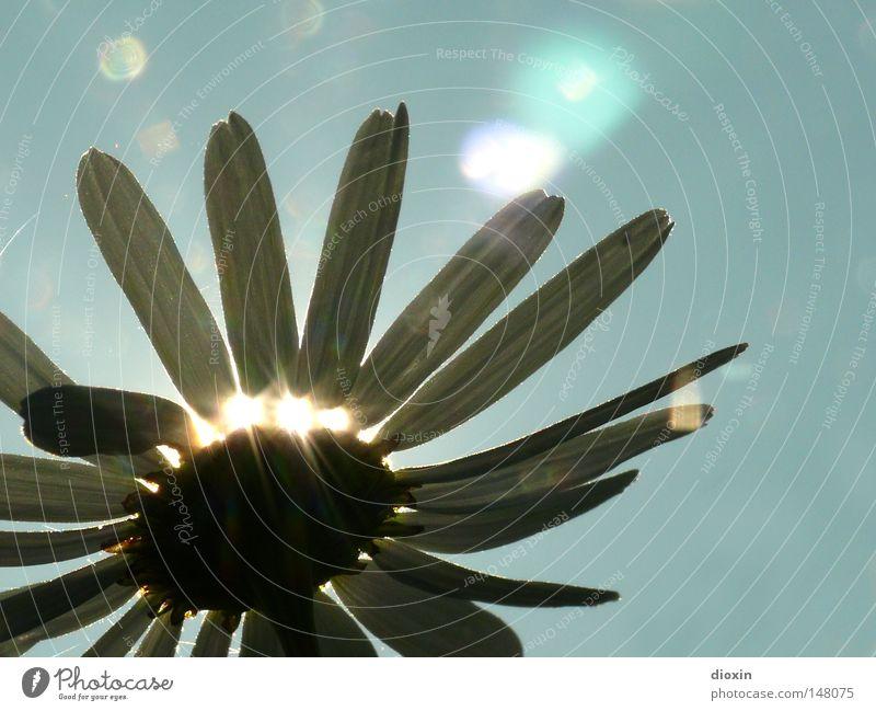 Lichtblick Sonne Gegenlicht Blume Pflanze Natur pflanzlich Botanik Blüte Blütenblatt Beleuchtung Sonnenlicht Sonnenstrahlen Hoffnung Kraft Wachstum Blühend