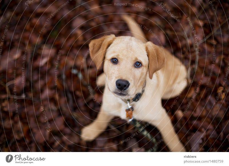 spielen! Tier Haustier Hund 1 Tierjunges Blick warten niedlich Vertrauen Neugier Labrador Farbfoto Außenaufnahme Schwache Tiefenschärfe Tierporträt
