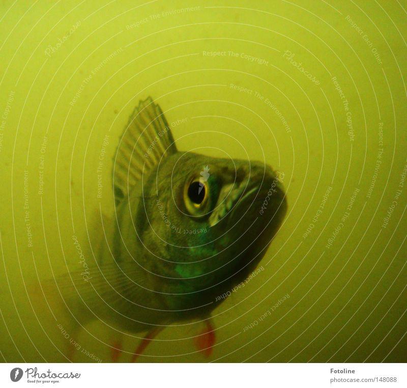 Schau mir in die Augen Kleines Wasser grün rot gelb Herbst Fisch Teich Schnauze Maul trüb Tier Fischauge Flosse unterirdisch