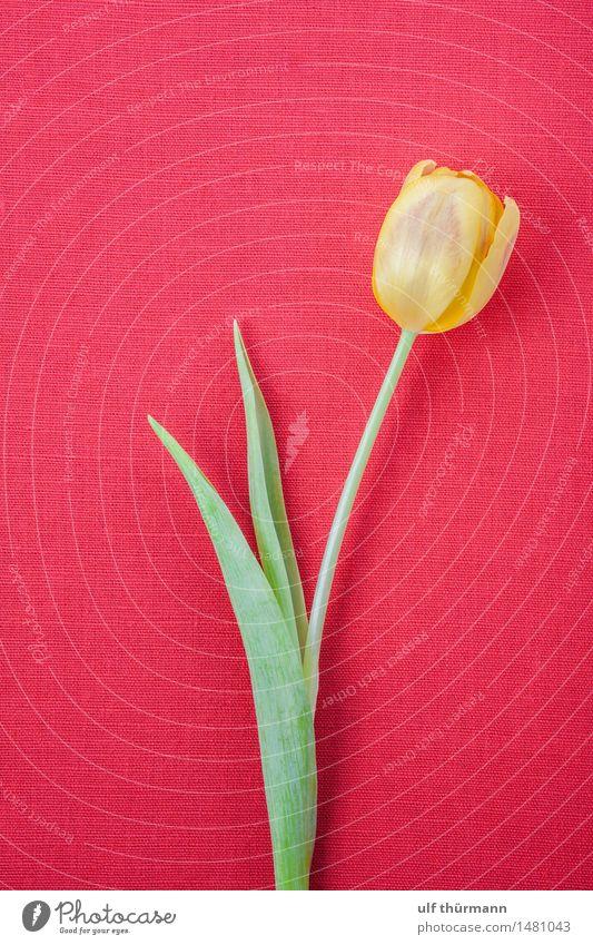 Tulpe Pflanze grün Blume rot Blatt ruhig Freude gelb Blüte Liebe Frühling natürlich Glück Feste & Feiern Wohnung Raum