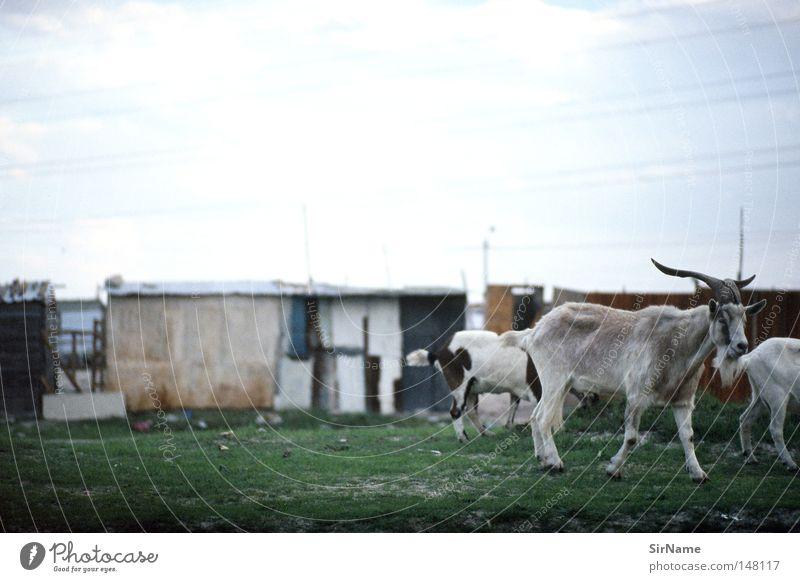 19 [townshipziegen] Armut Tiergruppe Hütte Afrika Südafrika Nutztier Ghetto Ziegen Moral Vieh Afrikanisch Lebensrettung Überlebenskampf gnadenlos unbarmherzig