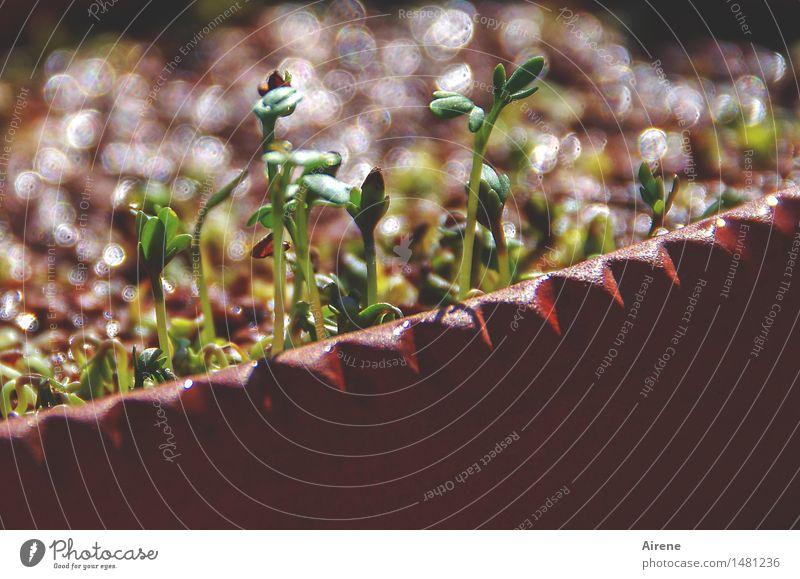 nun sprießen sie wieder Natur grün rot Essen Gesundheit Lebensmittel braun Wohnung Wachstum frisch genießen Kräuter & Gewürze Küche lecker Bioprodukte