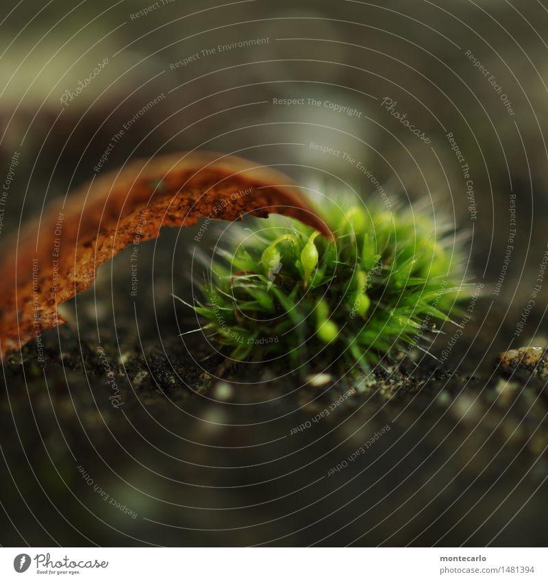 frisches grün Umwelt Natur Pflanze Erde Herbst Winter Moos Blatt Blüte Grünpflanze Wildpflanze Stein dünn authentisch einfach klein nah natürlich rund Spitze