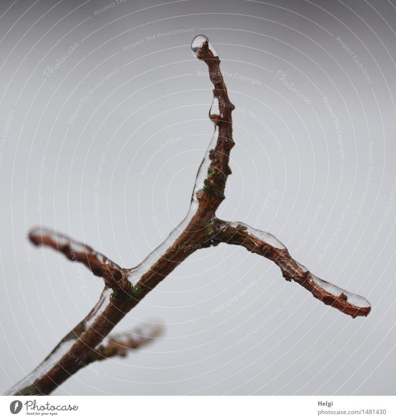 Eis am Stiel... Umwelt Natur Pflanze Winter Frost Sträucher Zweig Garten außergewöhnlich einfach einzigartig kalt natürlich braun grau bizarr