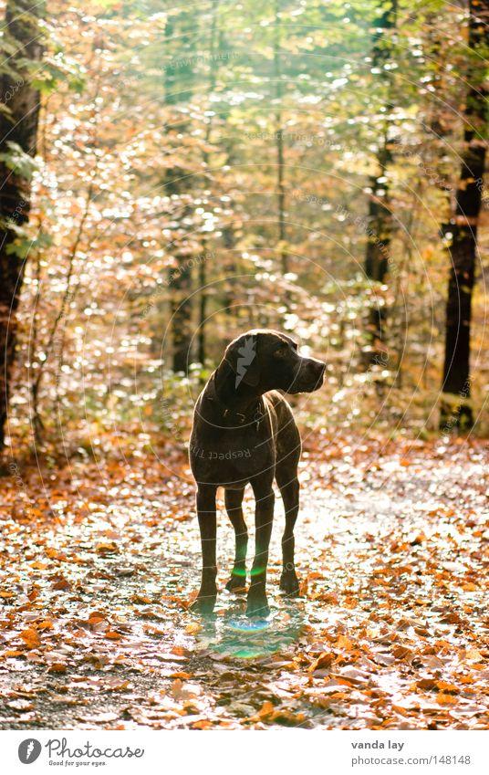 Rehe? Natur Baum Blatt Tier Wald Herbst Freiheit Hund Wege & Pfade hell braun frei Seil Mitte Jagd Fußweg