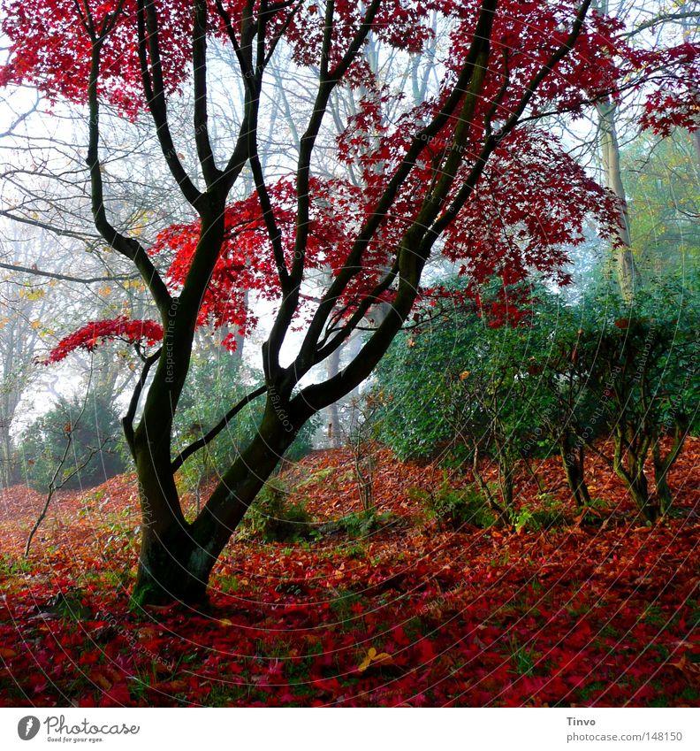 Red Fall Ast Baum Baumstamm Blatt Sträucher Farbe feucht frisch Geäst Gras grün Park Grünspan Hecke Herbst Jahreszeiten Kontrast Moos Morgen Natur Nebel Pflanze