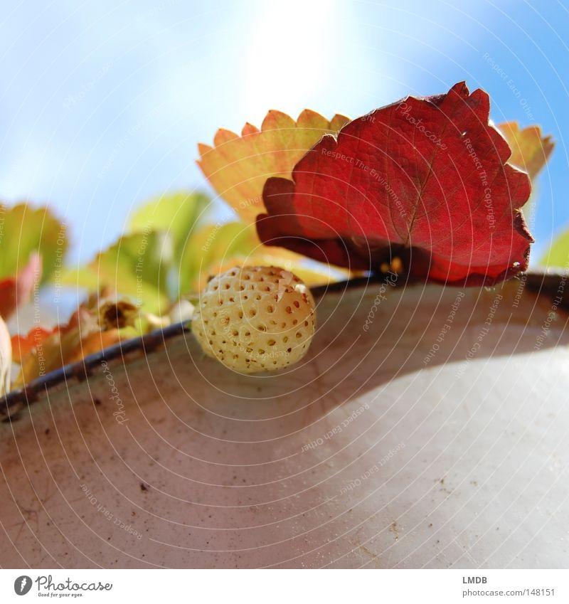 Erdbeere in Herbststimmung Blatt Pflanze Himmel rot grün gelb September Oktober Jahreszeiten Kraft Vergänglichkeit Topf Wolken Tellerrand Gegenlicht bleich