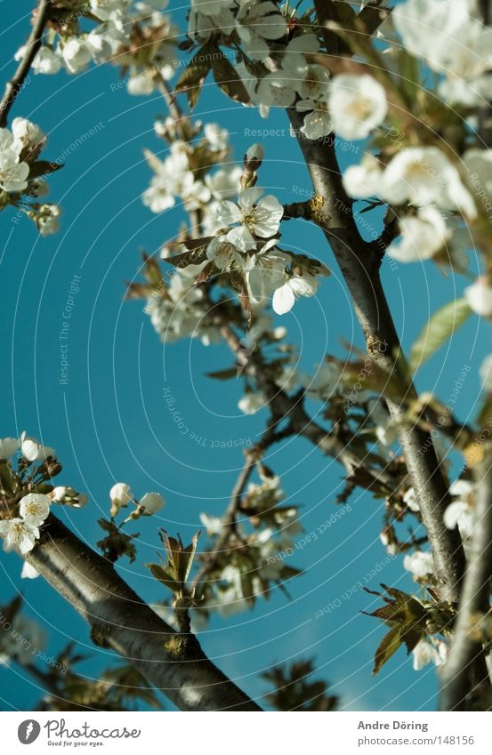 Es gibt Hoffnung Frühling Blühend Blüte Kirschblüten Kirschbaum Baum Ast Himmel Blauer Himmel Staubfäden Leben aufwachen Nektar Die Natur erwacht