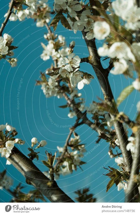 Es gibt Hoffnung Himmel Baum Leben Blüte Frühling Ast Blühend Blauer Himmel aufwachen Staubfäden Kirschblüten Kirschbaum Nektar
