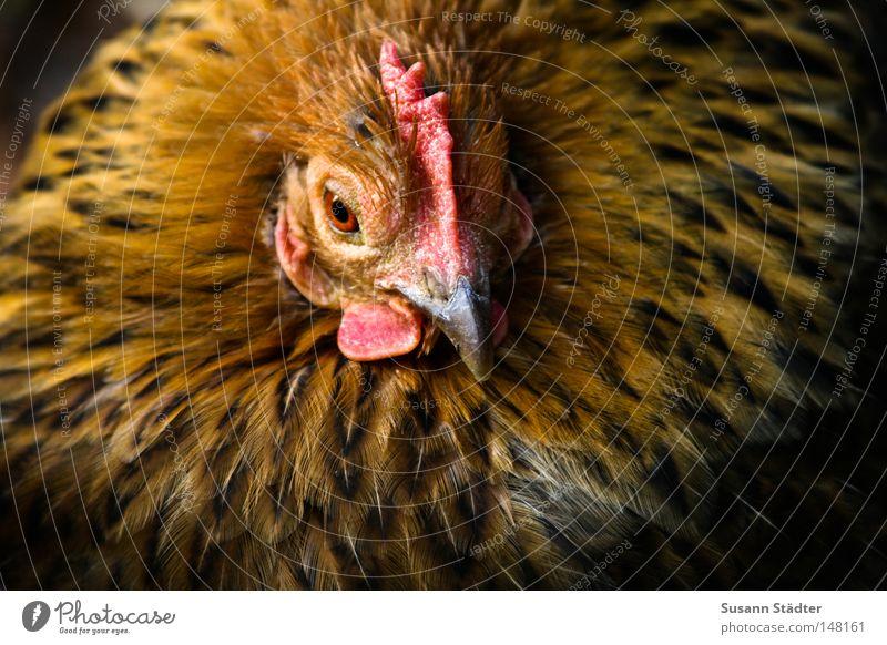 Eieiei, was seh ich da... Haushuhn Hahn Wiese liegen Feder Chinesisch Kanton süß Kamm schön Quaste Kopf Spiegelei Rührei Omelett knusprig Chinese Vogel Chicken