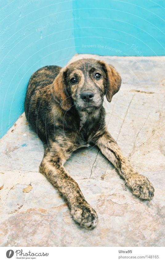 Können diese Augen Lügen blau ruhig Erholung Hund Ecke Pause liegen Säugetier Treue Welpe Hundeblick