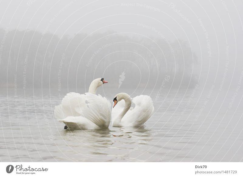 Imponiergehabe Winter schlechtes Wetter Nebel Teich See Schwan Flügel Höckerschwan 2 Tier Tierpaar Brunft Schwimmen & Baden ästhetisch kalt Vertrauen Sympathie