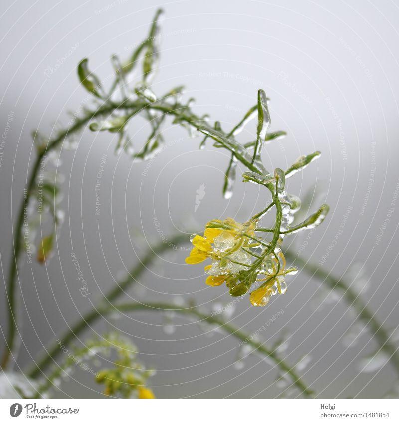schockgefrostet... Natur Pflanze grün ruhig Winter kalt Umwelt gelb Leben Blüte natürlich grau außergewöhnlich Feld Eis authentisch