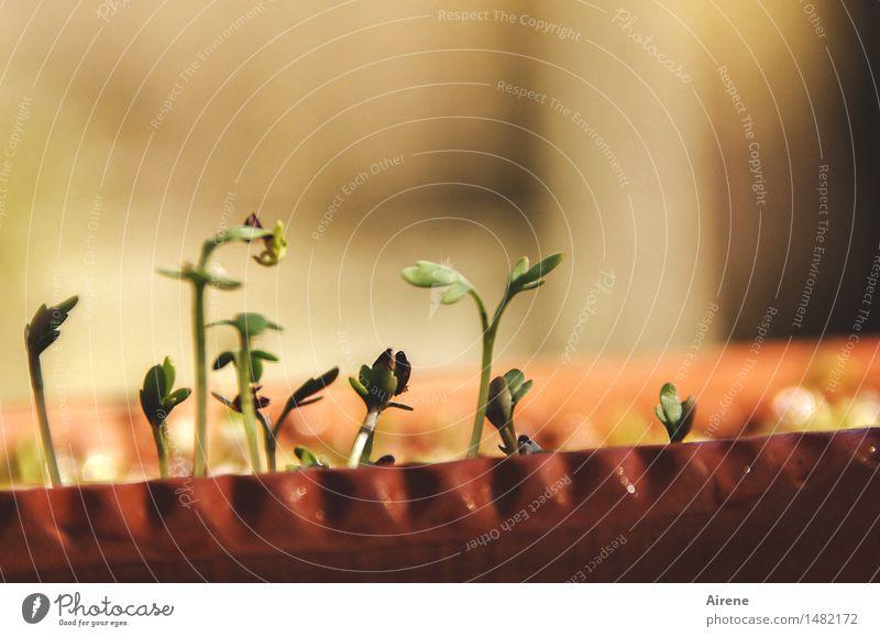 noch ein bisschen schüchtern Salat Salatbeilage Kräuter & Gewürze Kresse Bioprodukte Vegetarische Ernährung Fasten Pflanze Blatt Grünpflanze Samenpflanze