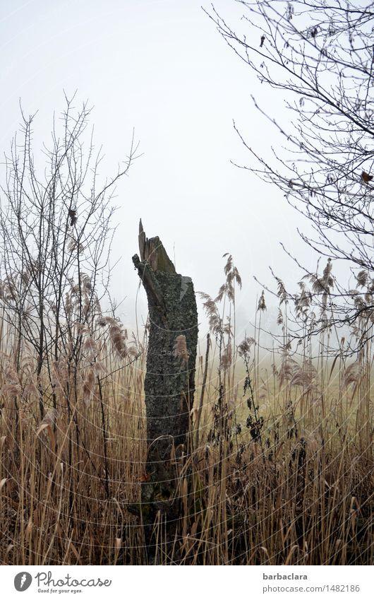Spießer im Schilf Natur Landschaft Erde Luft Nebel Pflanze Baum Gras Schilfrohr Baumstumpf stehen hell kaputt nass Spitze Erholung ruhig Überleben Umwelt