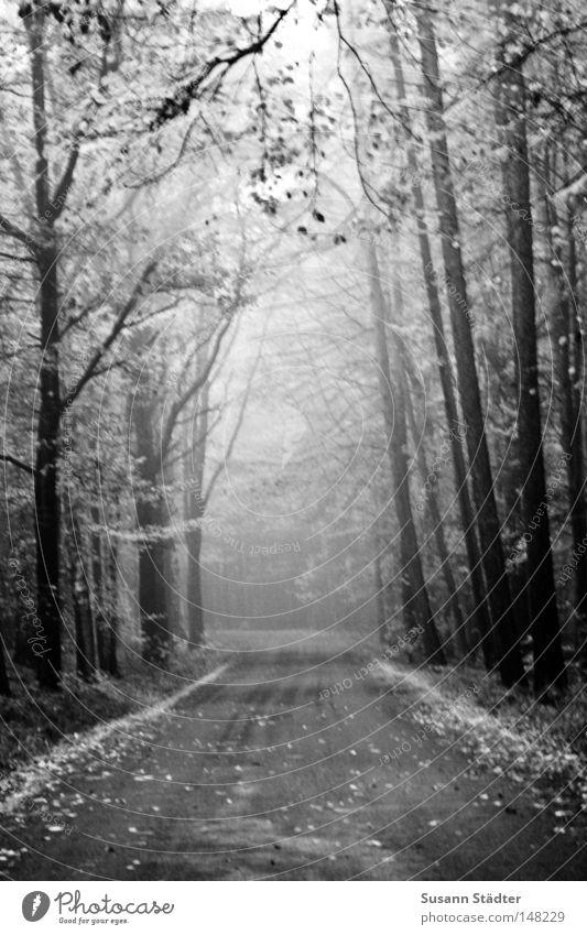 Nebelwald Baum Wald Straße Blatt Laubbaum Einsamkeit gehen schlafen kalt frieren Wassertropfen Tau Herbst Winter Schnee