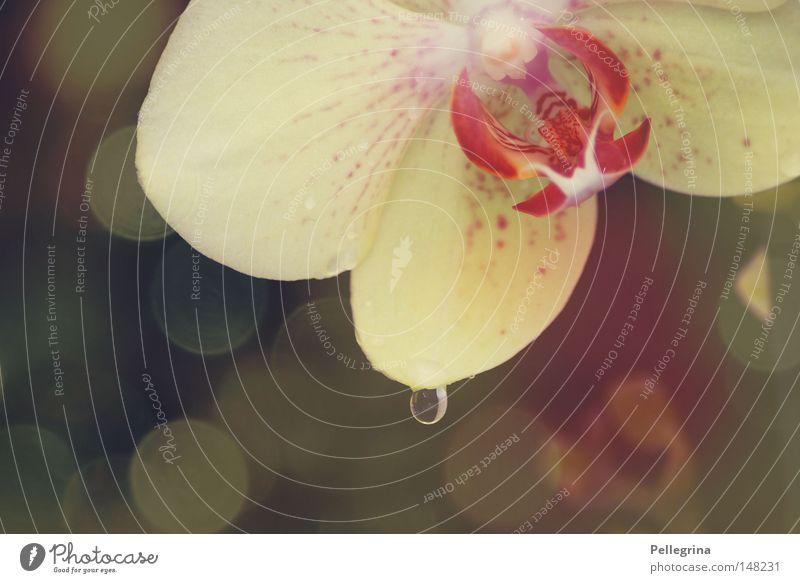 teardrop Orchidee Blume glänzend Reflexion & Spiegelung Pflanze Blüte Wassertropfen Blühend Farbe sanft ruhig Tränen