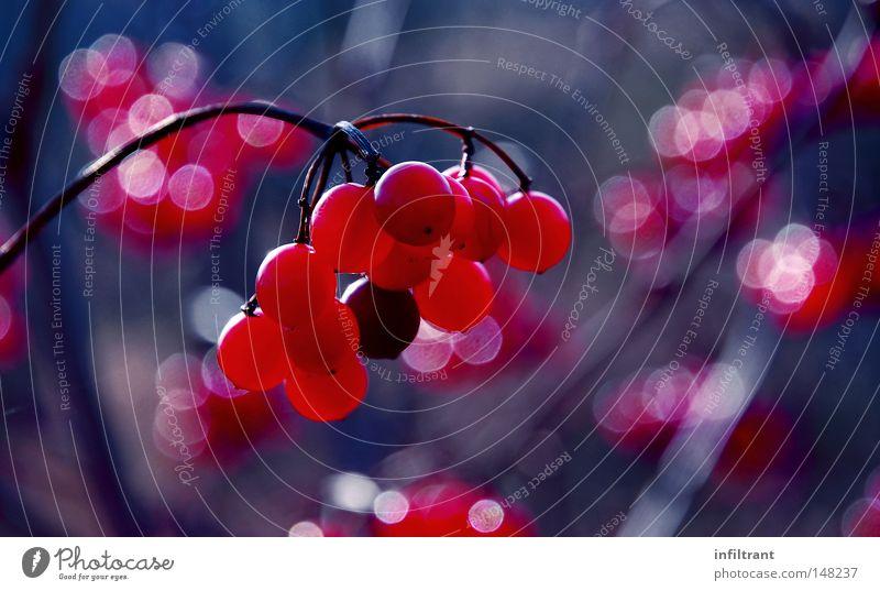 Beeren im Herbst Zweig Stengel Weintrauben rot blau kalt Pflanze Sträucher Frucht fruchtig