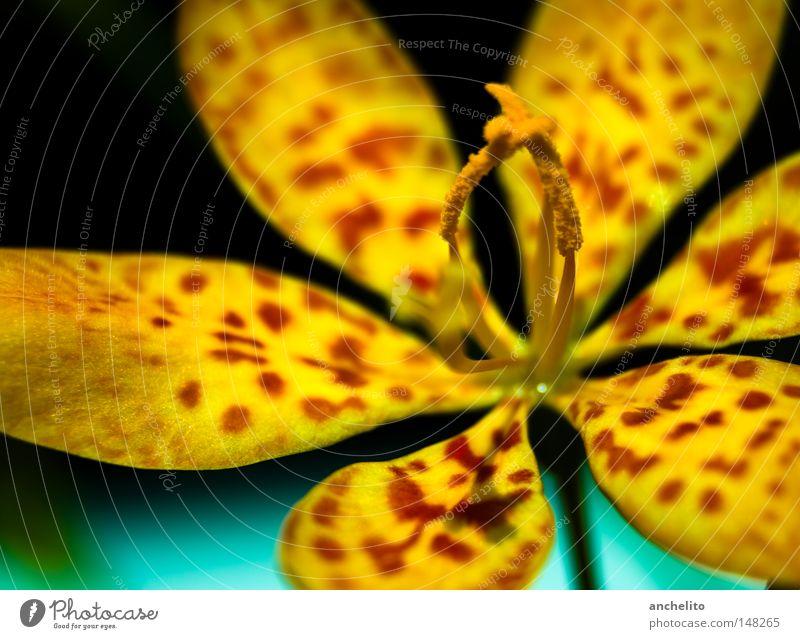 Felidae Farbfoto mehrfarbig Nahaufnahme Detailaufnahme Makroaufnahme Unschärfe harmonisch Erholung ruhig Freiheit Gartenarbeit Pflanze Blume Blüte exotisch