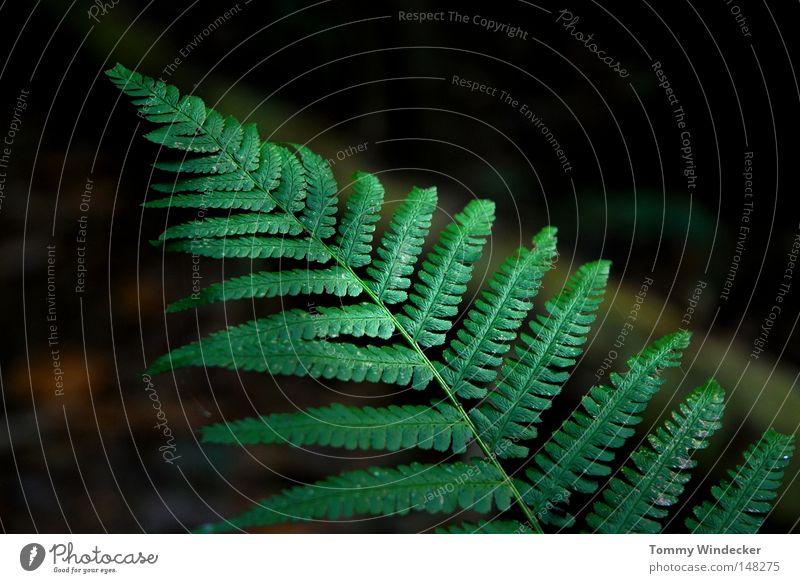 Numero 100 Pflanze Echte Farne Farnblatt Wurmfarn Waldboden Botanik Umweltschutz Biologie ökologisch Sumpf Blattadern Wachstum Reifezeit Urwald Gomera filigran