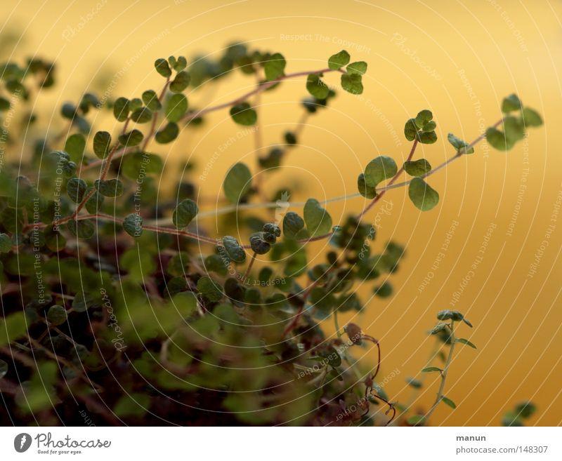 Bubikopf Pflanze Zimmerpflanze Wohnzimmer Abendsonne Blatt zart grün gelb Makroaufnahme Nahaufnahme Bubiköpfchen Soleirolia soleirolii Helxine soleirolii
