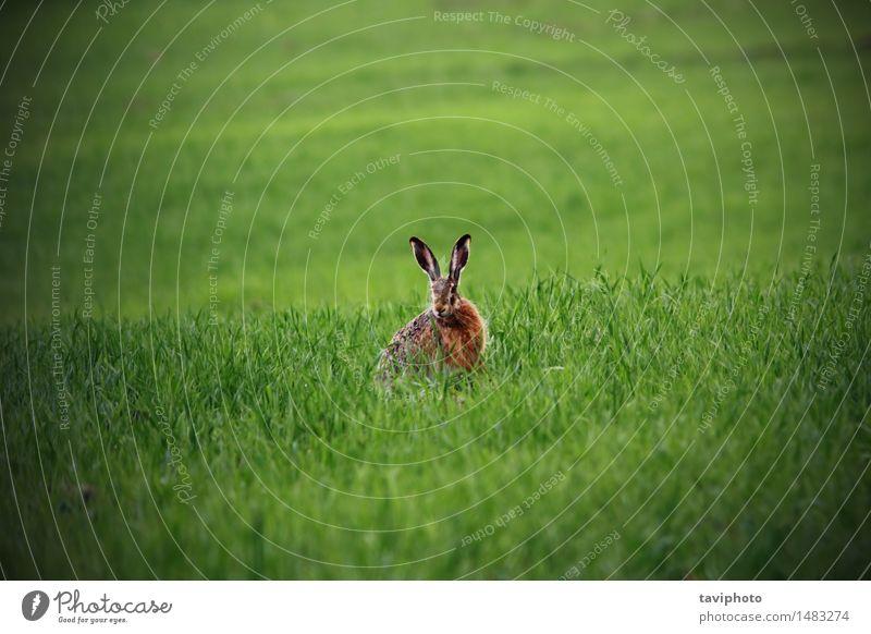 Wildhase im grünen Feld Jagd Sommer Ostern Natur Tier Gras Wiese Pelzmantel sitzen natürlich niedlich Geschwindigkeit wild braun Wachsamkeit Einsamkeit Hase