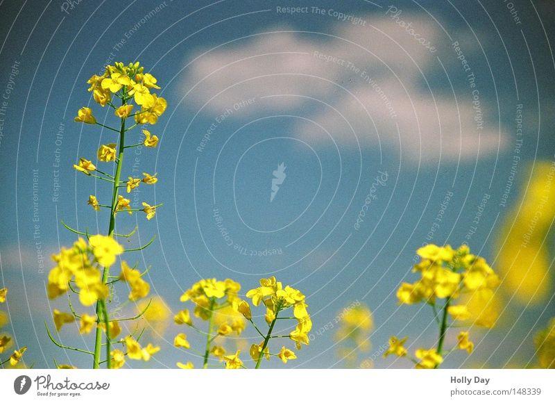 Ikea-Farben-Plakat weiß blau Sommer Wolken gelb Leben Blüte Feld hoch Wachstum Ernte Verschiedenheit Raps