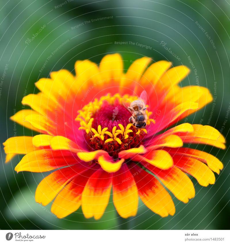 feuerrot Umwelt Natur Pflanze Sommer Blume Blüte Pollen Blütenstempel Insekt Schwebfliege 1 Tier gelb Farbfoto mehrfarbig Makroaufnahme Menschenleer