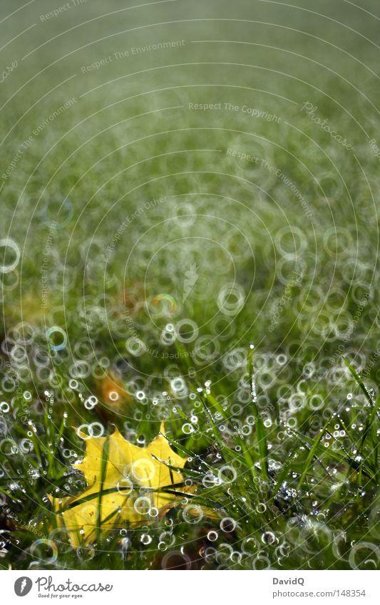 blasenrasen Blatt Rasen Wiese Brachland Gras Matten Weide Grünfläche Zonengrenze Feld Flur grün gelb Herbst Kreis Wassertropfen Tau Nebel Reflexion & Spiegelung