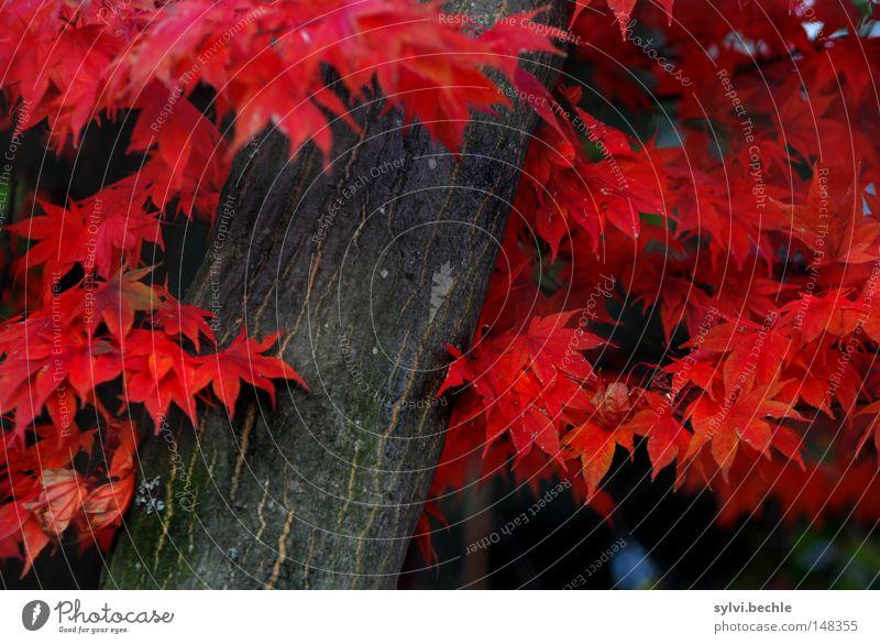 herbst schön Natur Herbst Baum Blatt fallen stehen verrückt rot Farbe Vergänglichkeit Baumstamm Färbung Jahreszeiten vergangen herbstlich prächtig Herbstlaub