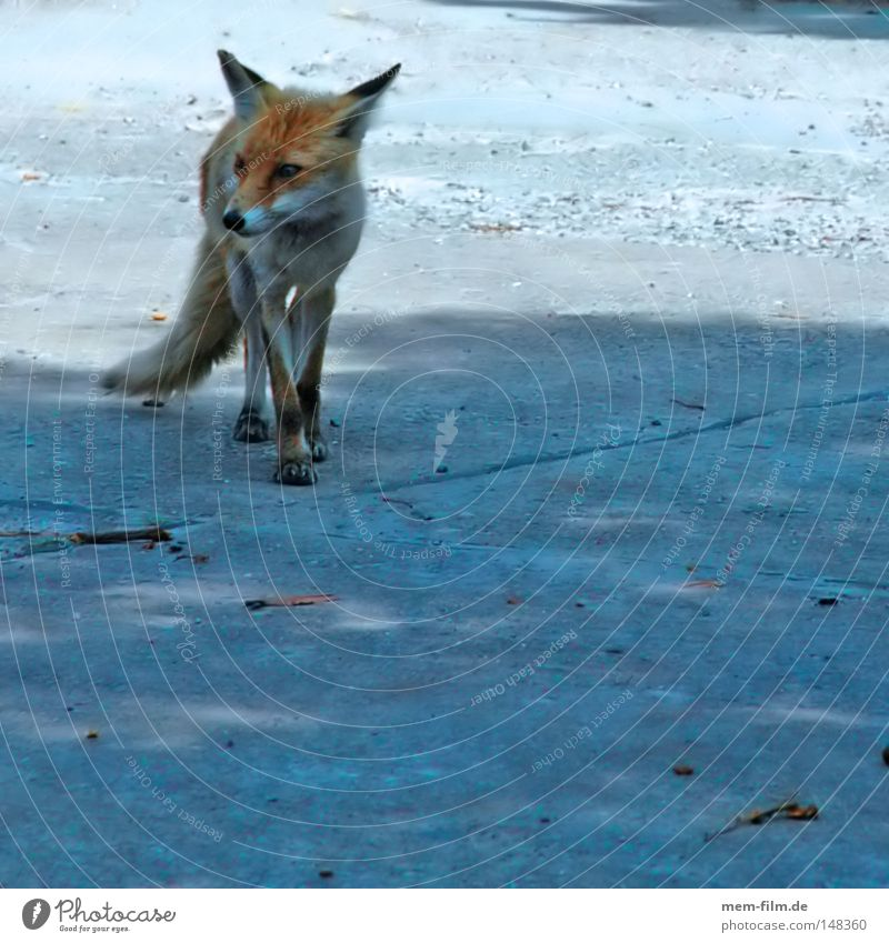 schlau rot klug Fuchsschwanz Landraubtier Säugetier Fell Schnauze tir Wildtier fabel Blick Ohr