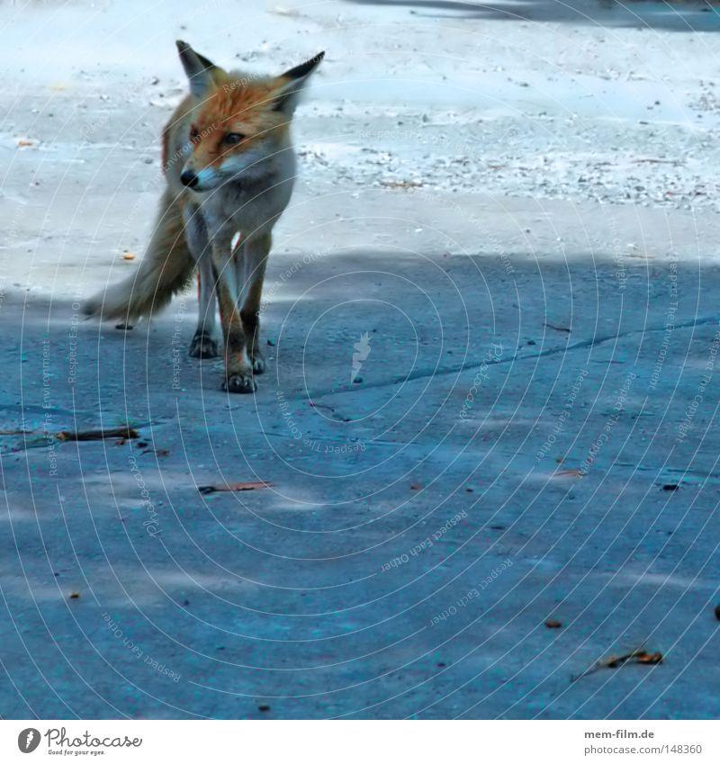 schlau rot Wildtier Ohr Fell Säugetier klug Schnauze Fuchs Landraubtier Fuchsschwanz