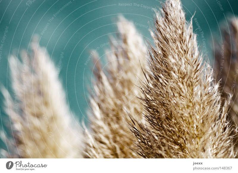 Staubwedel natur. blau Sommer Wärme Wind weich Physik zart leicht Schönes Wetter sanft Leichtigkeit Rauschen Brise sommerlich Rascheln samtig