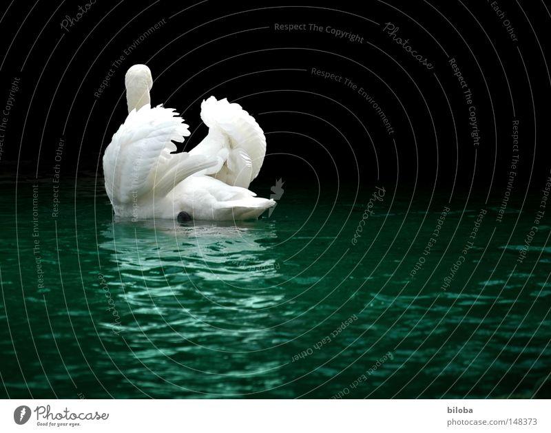 Journey Schwan Federvieh Hals lang weich ästhetisch Anmut demütig Flamingo Alken Entenvögel fliegen edel elegant Flügel schwarz weiß Vogel Wasser Gischt