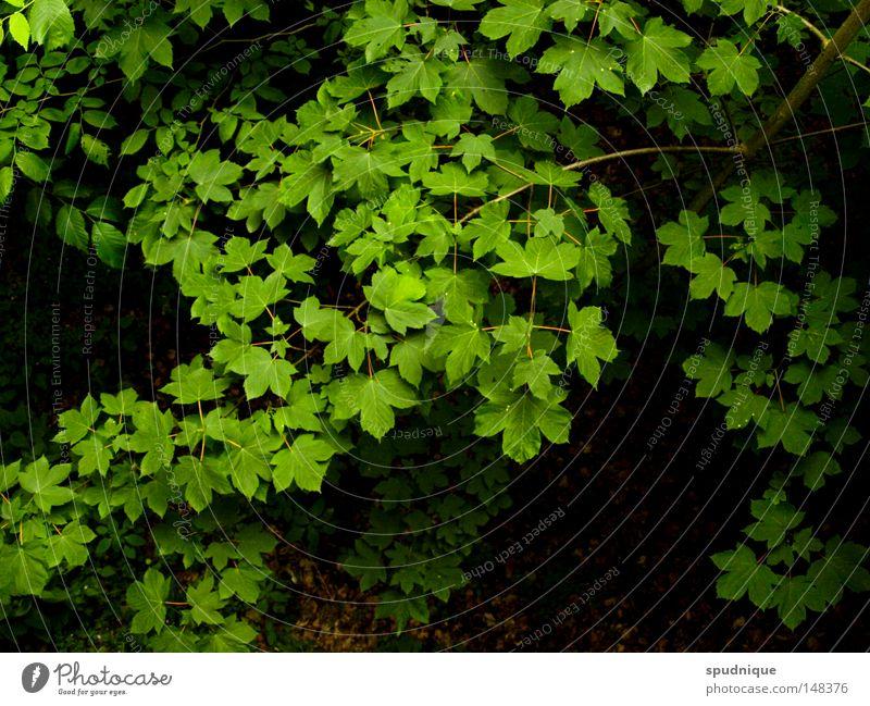 Blattwerk grün Baum Ast Zweig Dach Blätterdach Vogelperspektive frisch Laubbaum Sommer schön Blattgrün Farbe Natur Perspektive