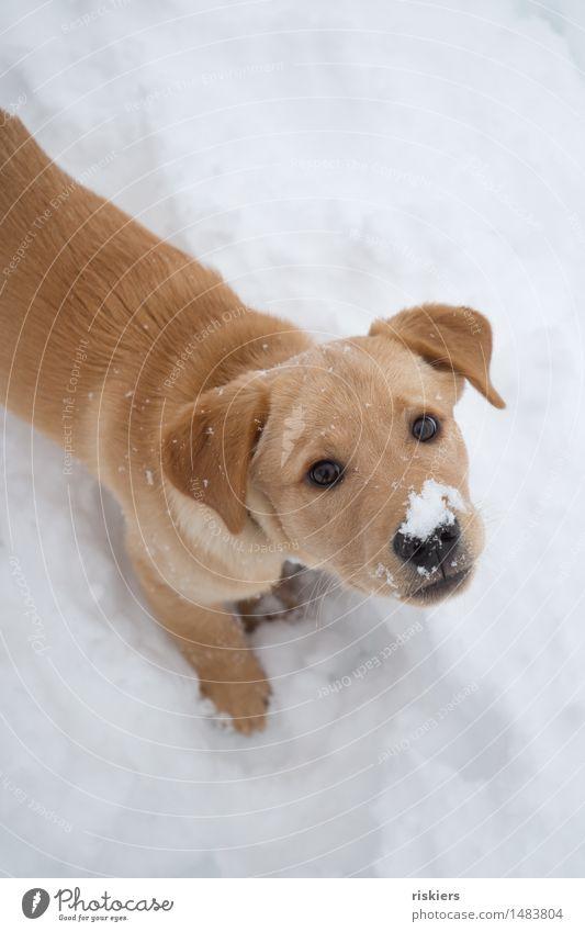 Schneenase Umwelt Natur Winter Schneefall Wald Tier Haustier Hund 1 Tierjunges beobachten entdecken Blick Spielen warten Freundlichkeit frisch Neugier niedlich