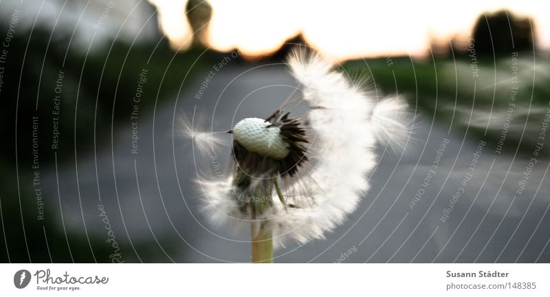 Seitenwind Löwenzahn Landwirtschaft Staubfäden Pollen blasen weiß Sommer sommerlich Sommerlaune Sonnenstrahlen grün frisch Frühling Herbst Stengel Mund Hand