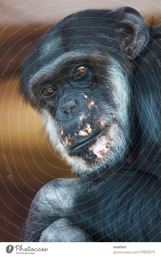 Passbild Tier Tiergesicht Fell 1 braun rosa schwarz weiß Affen Schimpansen Blick eindringlich Blick in die Kamera lebenslänglich Körperhaltung Farbfoto