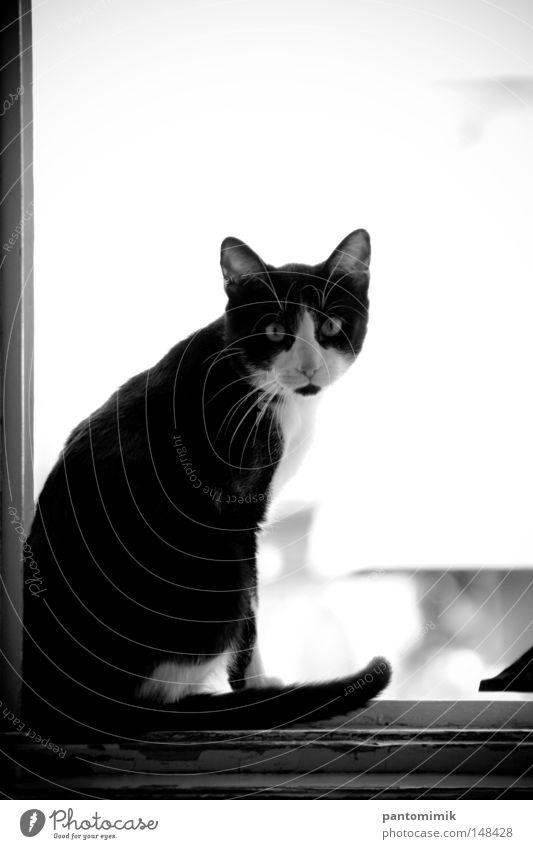 Soll ich bleiben oder soll ich gehen. Katze Tier Fenster Zarge Neugier Mut aufschauend Schwarzweißfoto Säugetier