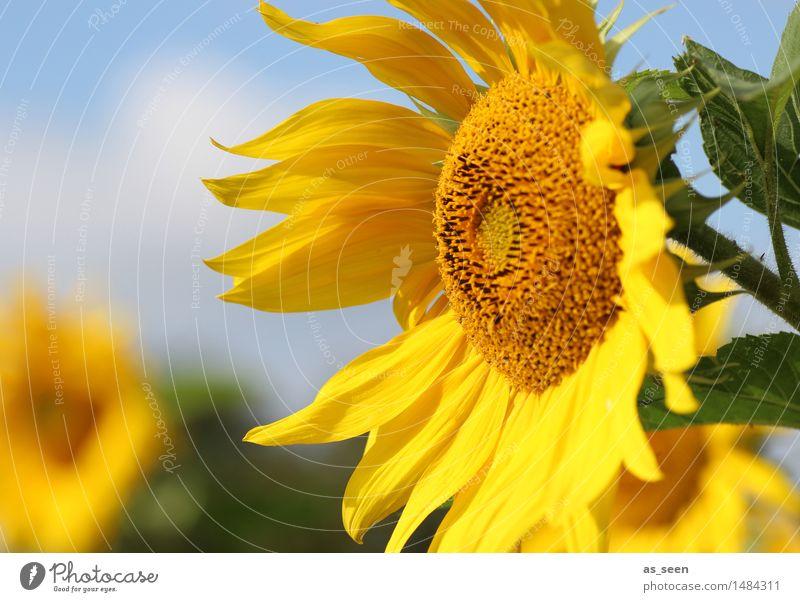 Sunflowers Glück Wellness Leben harmonisch Ausflug Freiheit Sommer Sonne Erntedankfest Umwelt Natur Sonnenlicht Klima Schönes Wetter Pflanze Blume Blatt Blüte