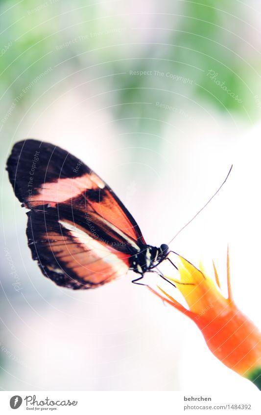 saugreflex Natur Pflanze Tier Blume Blüte Garten Park Wiese Wildtier Schmetterling Flügel 1 beobachten Blühend Duft Erholung Fressen frieren außergewöhnlich