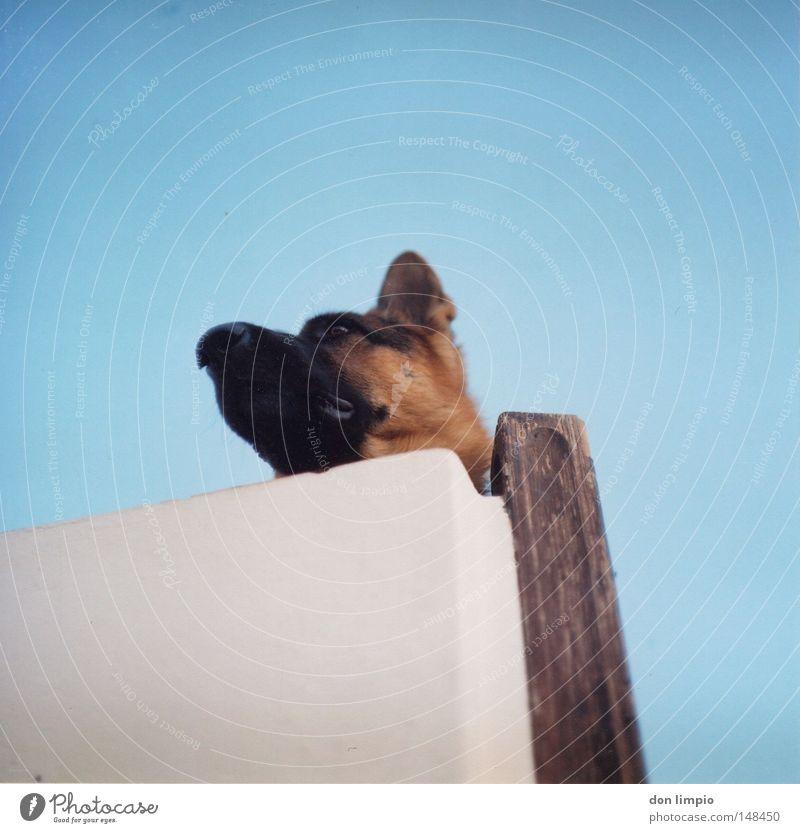 wo is die katz Hund blau weiß Tier Haus Wand Ohr Fell analog Haustier Säugetier Mittelformat Filmmaterial Rollfilm
