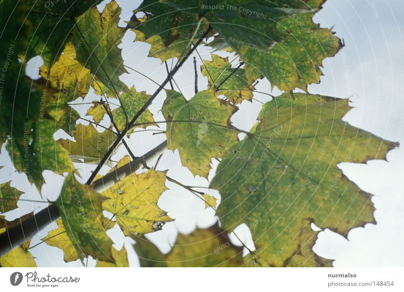Morgenblattrauschen Herbst Blatt Herbstlaub Oktober Goldregen Beleuchtung Physik Ast Baum fallen Ende analog Dia Havelland Gefühle goldener oktober