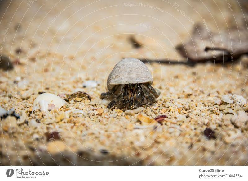 Mr. Crab Natur Sand Küste Strand Meer krabbeln Krebstier Krabbe Sandstrand Schutz Muschel Muschelschale Tier Sandkorn Meeresfrüchte Meerestier klein Beschützer