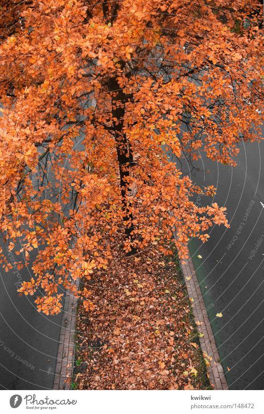 abgasantikörper Baum rot Blatt gelb Straße Herbst grau orange Blühend Abgas verblüht intensiv Färbung