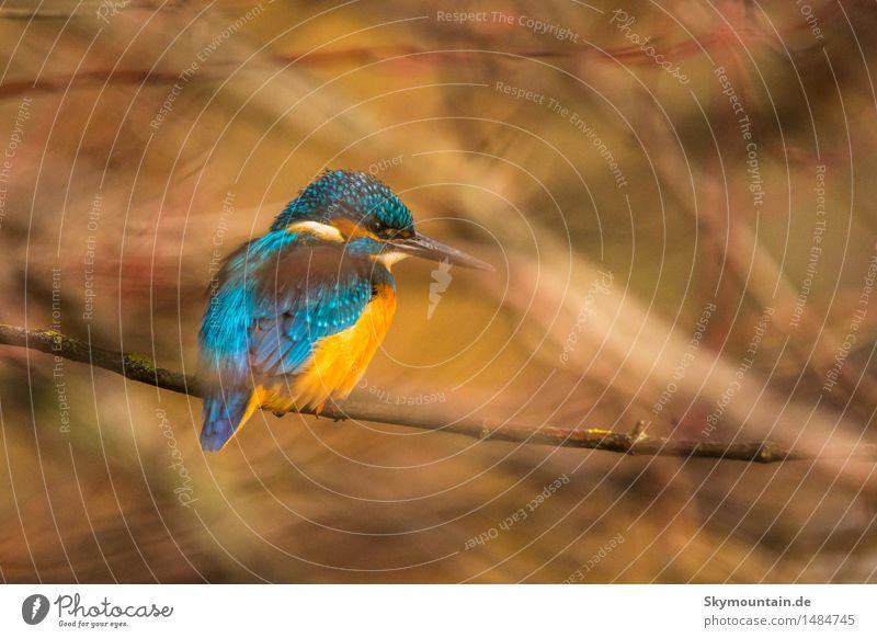 Eisvogel im Gestrüb Umwelt Natur Pflanze Tier Baum Sträucher Seeufer Flussufer Moor Sumpf Teich Bach Vogel Tiergesicht Flügel Eisvögel 1 blau braun gelb gold